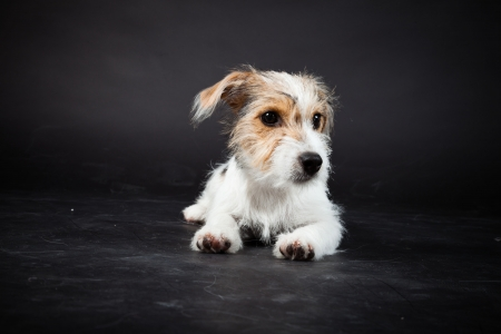 Jack russell puppy isolated on black background. Studio shot. photo