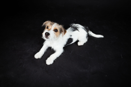 Jack russell puppy isolated on black background. Studio shot. Stock Photo - 20387849