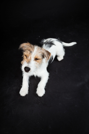 Jack russell puppy isolated on black background  Studio shot  photo