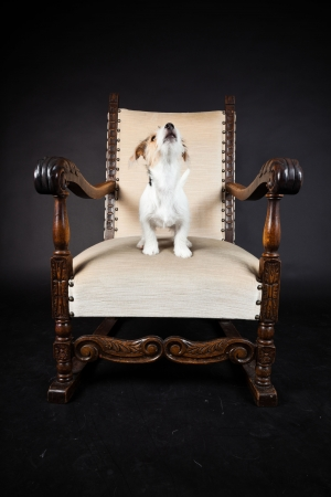 Jack russell puppy in big chair isolated on black background. Studio shot. photo