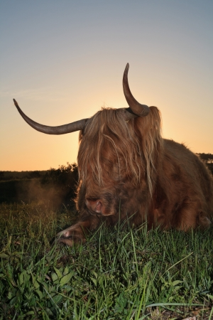 highlander: Highlander scozzese mucca in erba dune al tramonto.