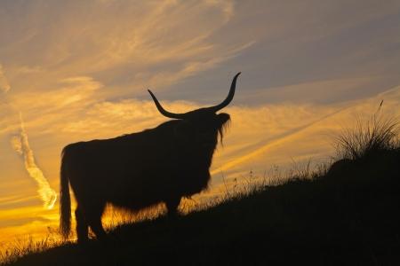 highlander: Silhouette di highlander scozzese mucca in piedi sulla collina in erba dune al tramonto.