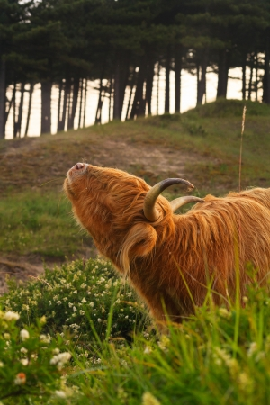 Close-up of scottish highlander cow with big horns scratching his neck. photo