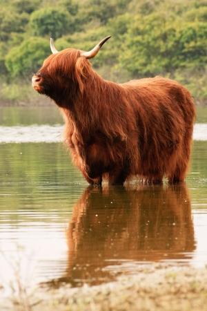 highlander: Un highlander scozzese in piedi in acqua. Raffreddamento.