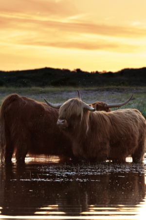 Two scottish highlanders standing in water. Cooling down. Sunset sky. photo