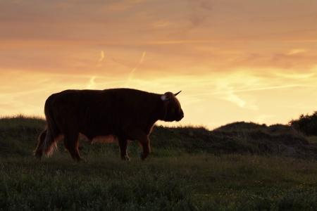 highlander: Silhouette di highlander scozzese mucca camminando in erba dune al tramonto. Archivio Fotografico