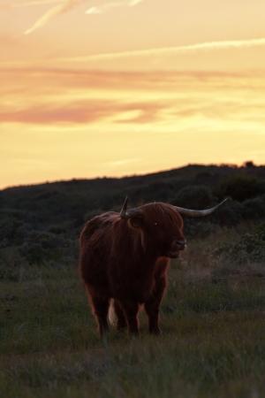 highlander: Solo escoc?s highlander vaca de pie en el c?sped paisaje de dunas al atardecer.