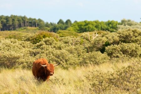 Scottish highlander walking in grass dune landscape. Fur moving in the wind.