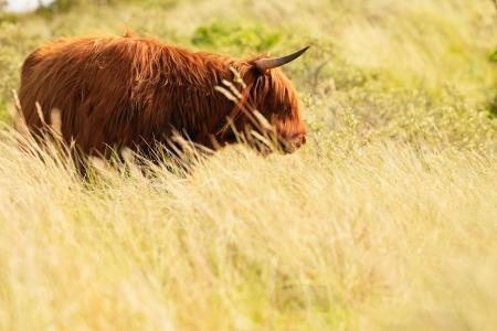 highlander: Montañés escocés caminando en la hierba paisaje de dunas. Piel que se mueve en el viento.