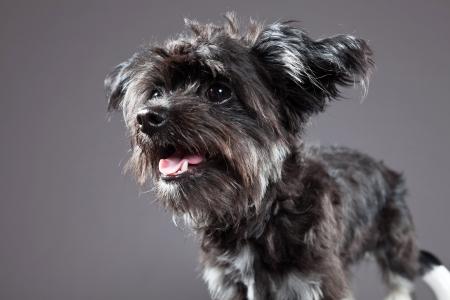 boomer: Black boomer dog. Studio shot against grey.