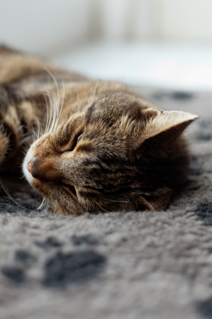 Lazy tabby cat sleeping on grey rug. photo