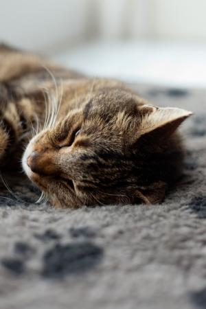 grey rug: Lazy tabby cat sleeping on grey rug.