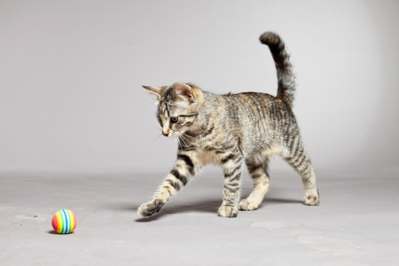 Tabby kitten playing with little ball. Studio shot against grey. photo