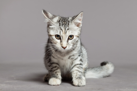 Cute tabby kitten. Studio shot against grey. photo