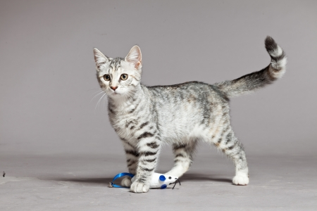 Cute tabby kitten. Studio shot against grey. Stock Photo