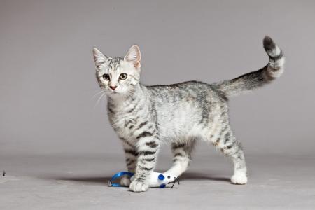 Cute tabby kitten. Studio shot against grey. Standard-Bild