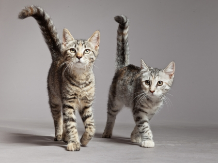 Two cute tabby kittens walking towards camera. Studio shot against grey.
