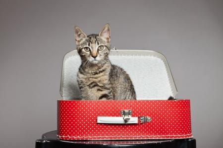 Nieuwsgierig speels grappig tabby kitten in rode koffertje. Studio opname tegen grijs. Stockfoto