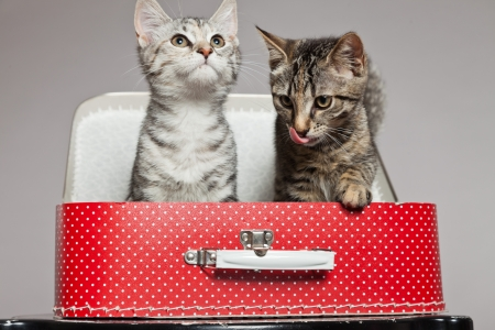 Two curious playful funny tabby kittens with red little suitcase. Studio shot against grey.
