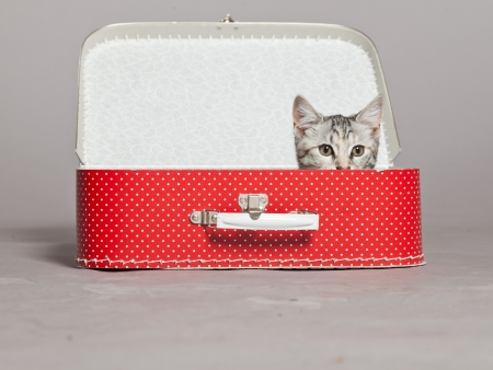 Curious playful funny tabby kitten in red little suitcase. Studio shot against grey.