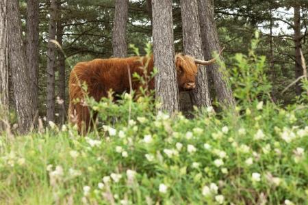 highlander: Highlander scozzese con grandi corna di vacca in pino foresta.