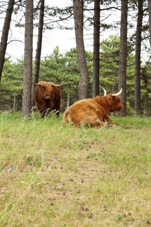 highlander: Monta��s escoc�s con cuernos de vaca grande en el bosque de pinos.