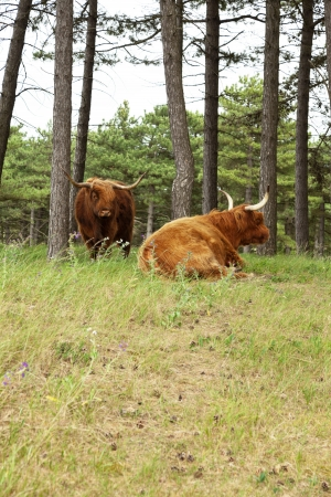 Scottish highlander with big horns cow in pine tree forest. photo