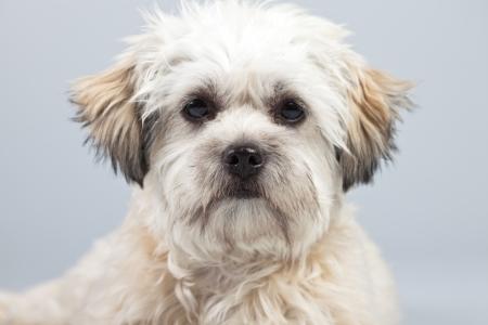 boomer: White boomer dog isolated against grey background. Studio portrait.