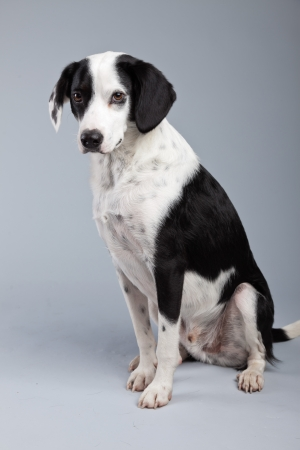 light brown eyes: Mixed breed black and white spotted dog isolated against grey background. Light brown eyes. Studio portrait.