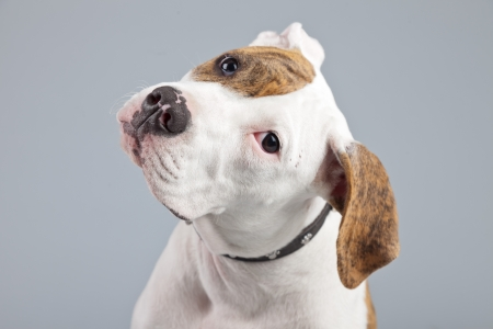 Puppy american bulldog white with red spots isolated against grey background. Studio portrait. photo