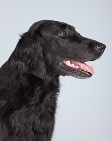 longhaired: Black flatcoated retriever dog isolated against grey background. Studio portrait.