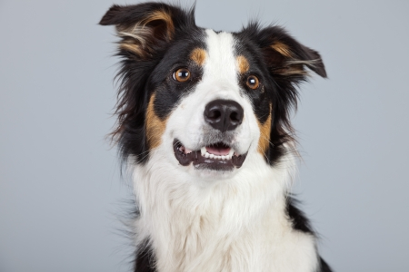 border collie: Border collie dog black brown and white isolated against grey background. Studio portrait.