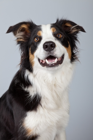 Border collie dog black brown and white isolated against grey background. Studio portrait. photo