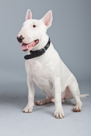 Bull terrier dog isolated against grey background. Studio portrait.