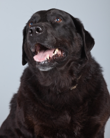 Old black labrador retriever dog isolated against grey background. Studio portrait. photo