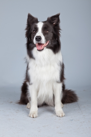 Beautiful border collie dog isolated against grey background. Studio portrait. photo