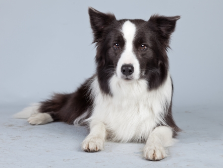 Belle chien border collie isol� sur fond gris. portrait de studio. photo