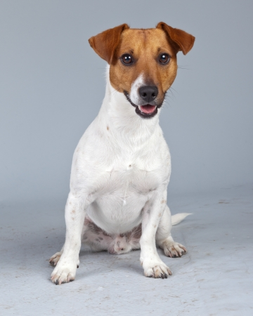Jack russell terrier dog white with brown spots isolated against grey background. Studio portrait. photo