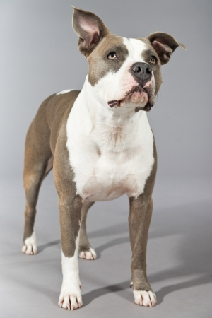 black and white pit bull: American bull terrier portrait. Brown with white spots. Studio shot against grey.