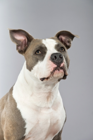 staffordshire: American bull terrier portrait. Brown with white spots. Studio shot against grey.
