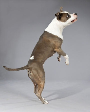 bull terrier: Playful jumping american bull terrier portrait. Brown with white spots. Studio shot against grey.