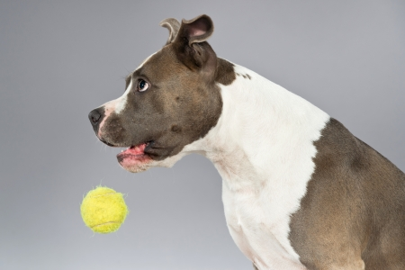 Playing with tennis ball american bull terrier portrait. Brown with white spots. Studio shot against grey. photo