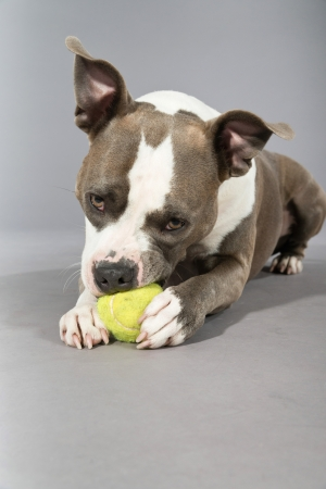 gnaw: American bull terrier gnawing a tennis ball. Brown with white spots. Studio shot against grey.