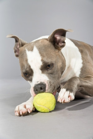 American bull terrier gnawing a tennis ball. Brown with white spots. Studio shot against grey. photo