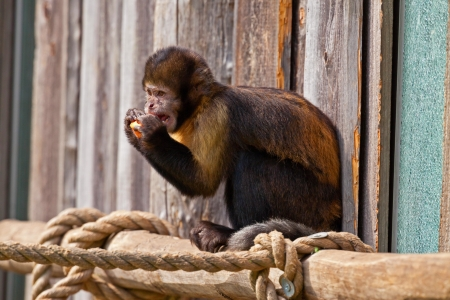 woolly: Single woolly monkey in zoo eating a carrot out of his hands.