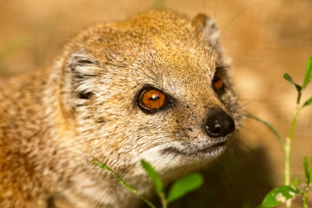 Close-up of a yellow mongoose in zoo. Stock Photo - 22747060