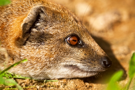 Close-up of a yellow mongoose in zoo. Stock Photo - 22747061
