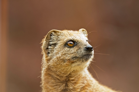 Close-up of a yellow mongoose in zoo. Stock Photo - 22747073