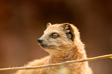 Close-up of a yellow mongoose in zoo. photo