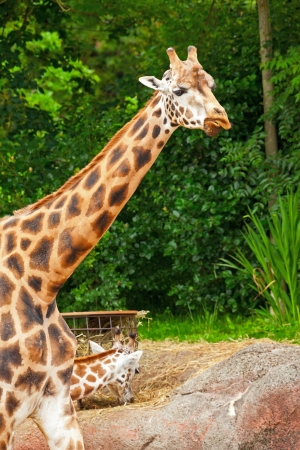 Girafe de Rothschild en face des arbres verts dans le zoo. T�te et long cou. photo